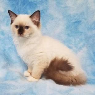 eevee kitten