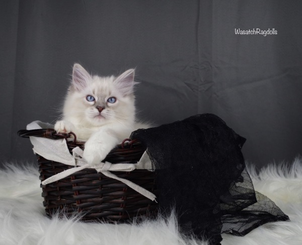 Wasatch Ragdolls | Show Quality Ragdolls located in Utah!